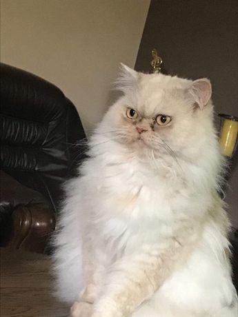 Zaginęła kotka Pers