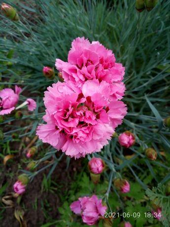 """Продаю садові квіти, м""""яту, мелісу"""