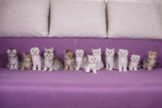 Шотландские нежнейшие котята
