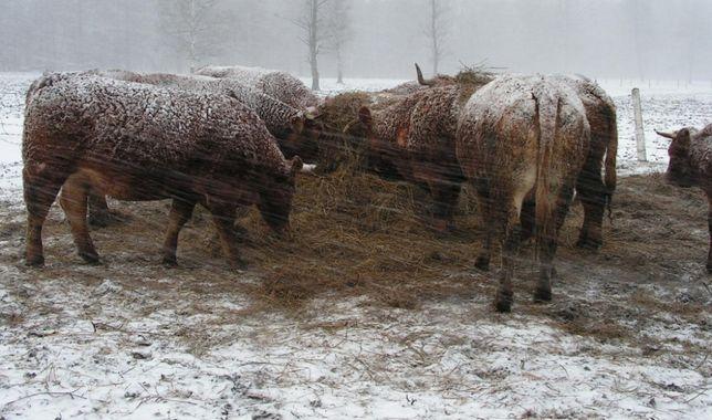 skup żywca, bydła rzeźnego bydło byki, jałówki, krowy WAGANIEC