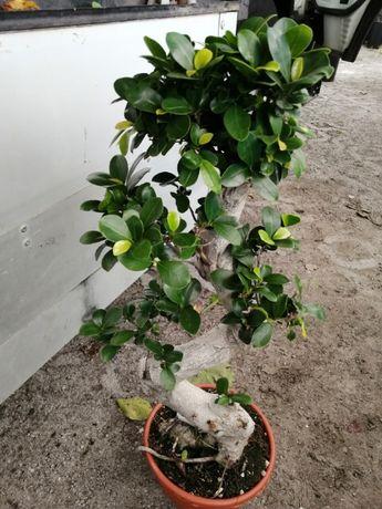 Bonsai Ficus em vaso