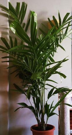 Palmeira elegante, Ptychosperma elegans, com 1,7mt e pés múltiplos