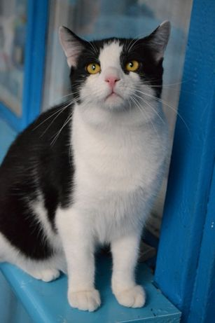 Рожевоносий чорно білий кіт 1р