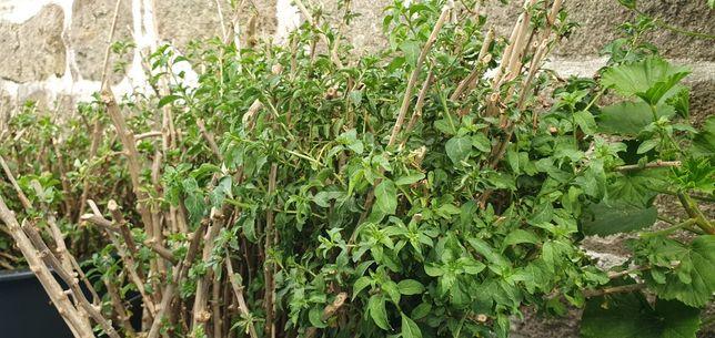 """Plantas Goji """"Lycium Chinense"""""""