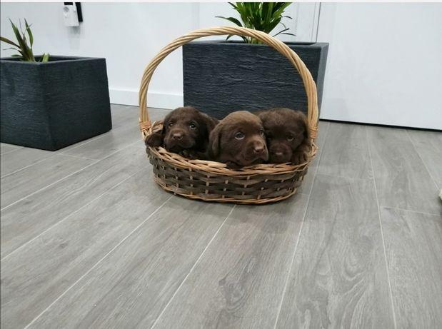 Labradores Retriever cor chocolate