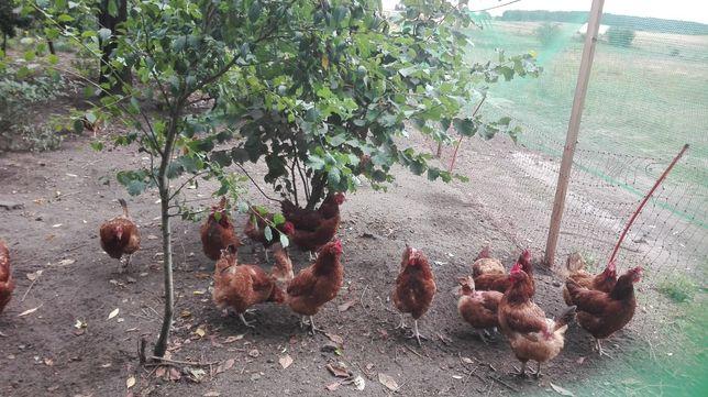 Jajka wiejskie smiechowo