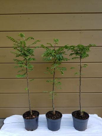 Sorbus aucuparia 'Fastigiata' jarząb pospolity 'Fastigiata'