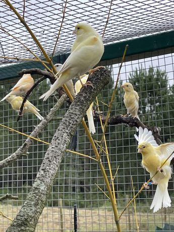 Canarios, casais , fim de canarios troca  por exoticos