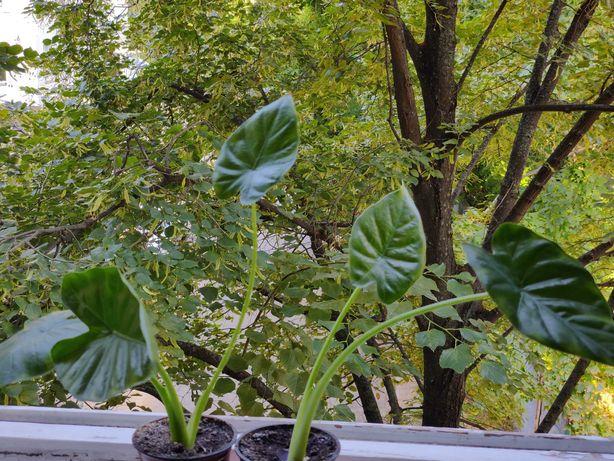 Алоказия молодые растения