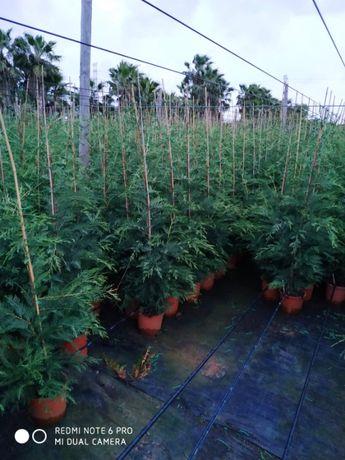 Cupressus Leylandii 140/160cm