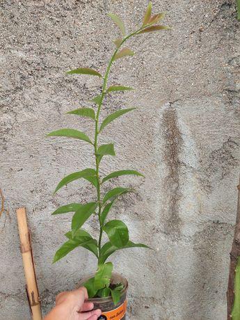 Ora- pro- nobis (planta)