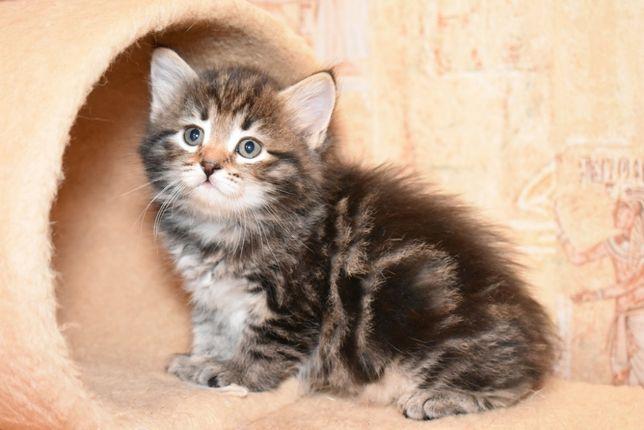 Сибирские котята с отличной родословной.Мраморный окрас.