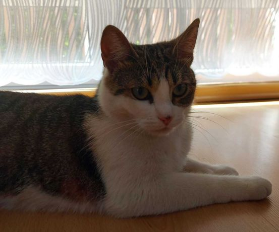 zaginęła kotka szaro-biała okolice Torunia