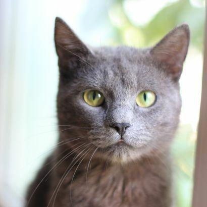 Метис русской голубой Серый ищет дом котенок котята кошеня кот кошка