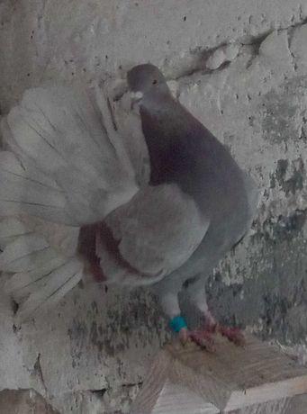 Gołębie pawiki.   !!!