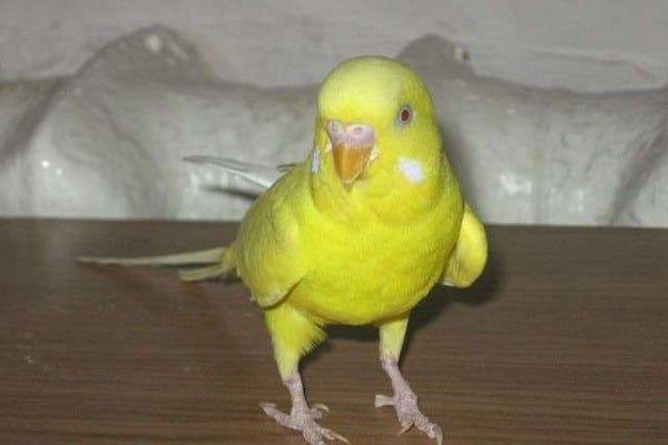попугай волнистый малыш