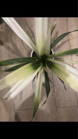Панданус, пальма, шикарный комнатный цветок для офиса и дома