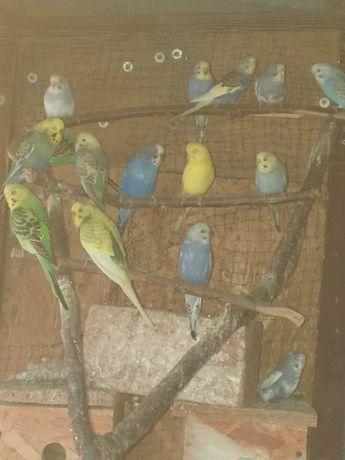 Papugi faliste kolorowe