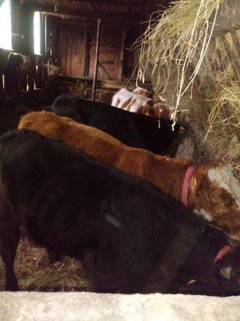 Sprzedam byki byczki mięsne 5sztuk