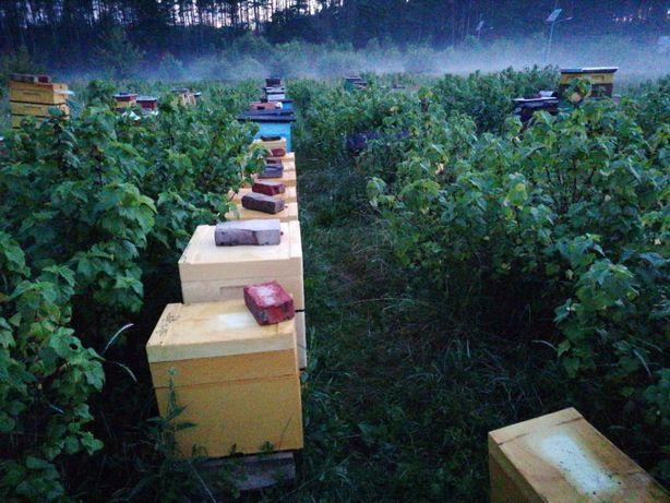 Pszczoły, rodziny, odkłady, Matki pszczele