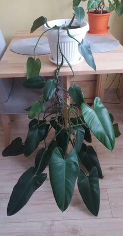 Filodendron - duża roślina, sadzonka, kwiat