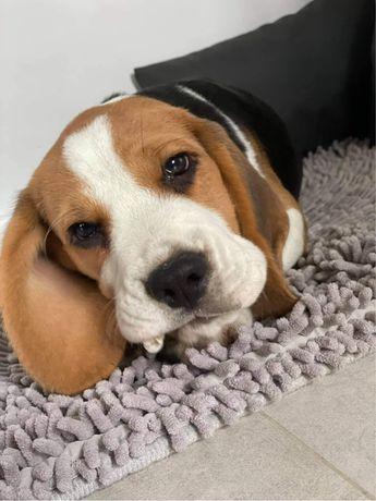 Beagle szczeniak po CHAMPIONIE FCI ZKwP