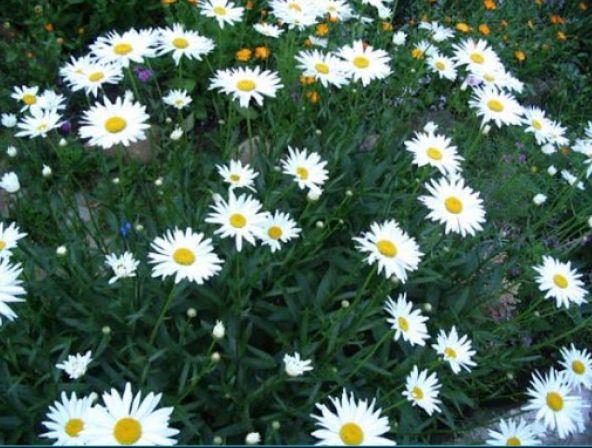 Білі ромашки саджанці (для розмноження)