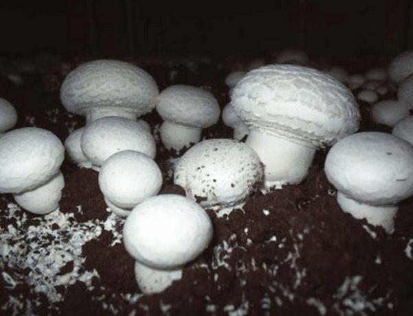 Мицелий шампинйона вешенки грибние блоки печериць