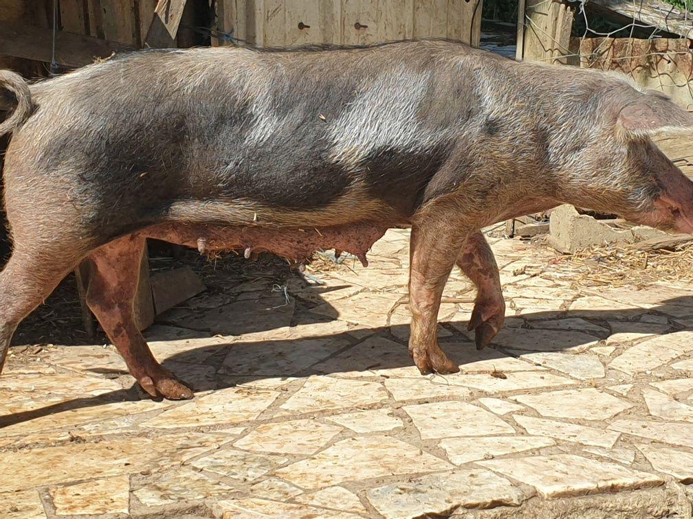 porca pietran prenha de porco preto alentejano