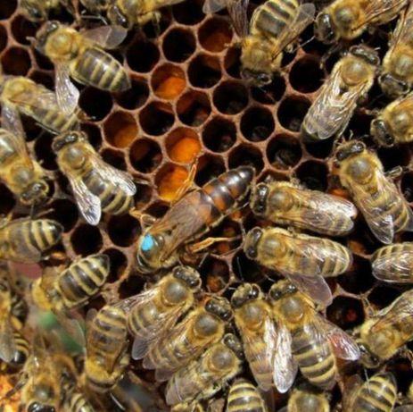 Пчелиные пакеты Степова-ус Доставка в Добрянка! В наличии