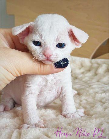 Śliczna błękitnooka biała kotka Devon Rex także opcja hodowlana