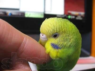 Продам Волнистые попугаи яркие окрасы, домашнего разведения.