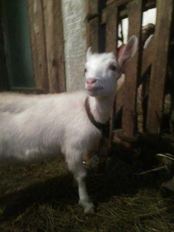 Зааненская козочка кізочка коза