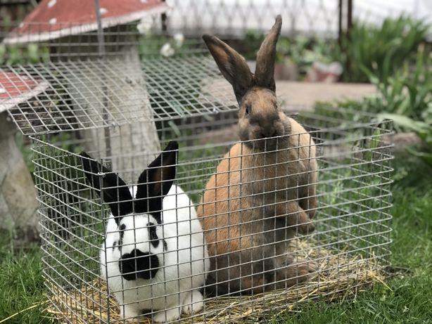 Кролики Немецкий пестрый великан