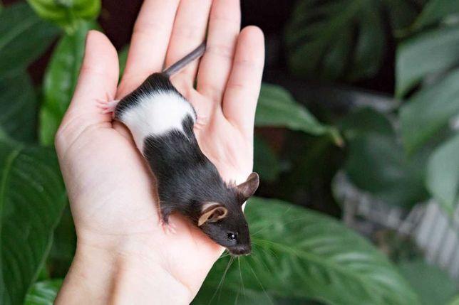 Myszy rasowe :: mysz rasowa - SAMCZYKI