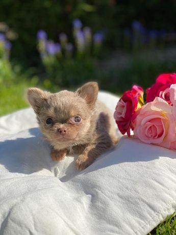 Chihuahua Lux Lilac Tan Piesek mini xxs