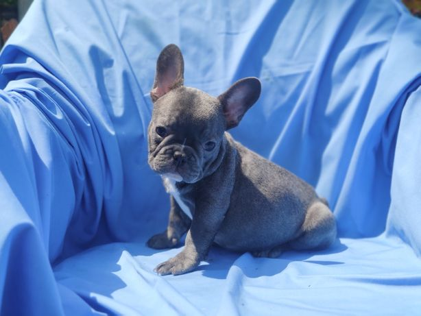 Мальчик голубой французкого бульдога