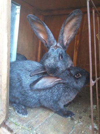 Породистые кролики по соседству
