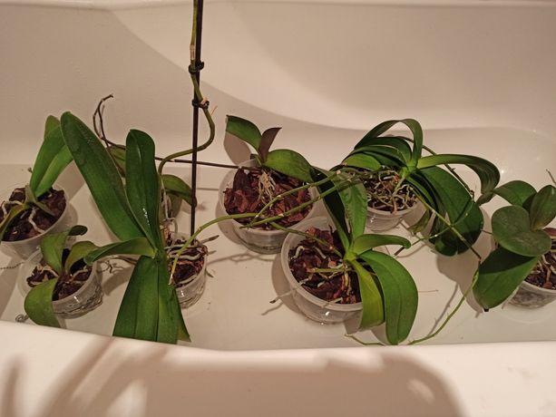 Орхидейки отцветашки