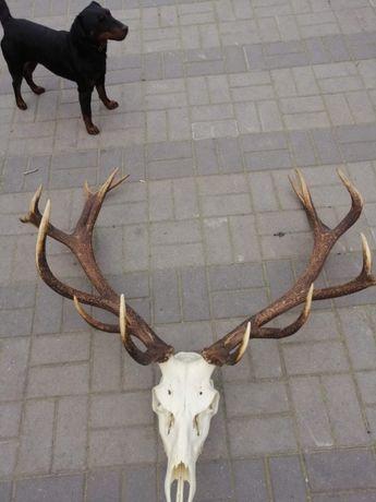wieniec jelenia sprzedam