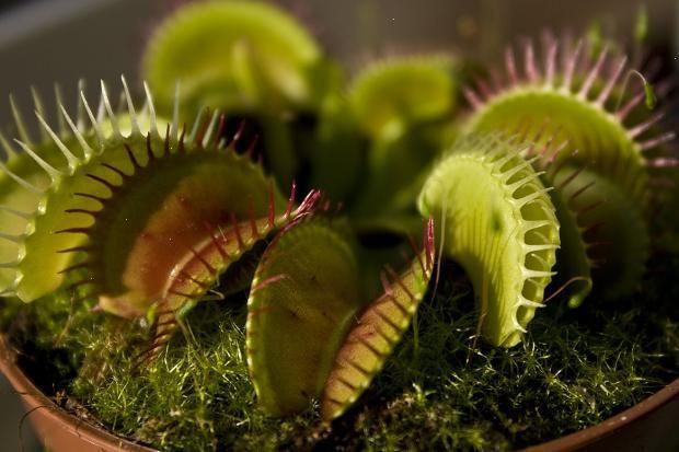 Венерина мухоловка - насекомоядное растение