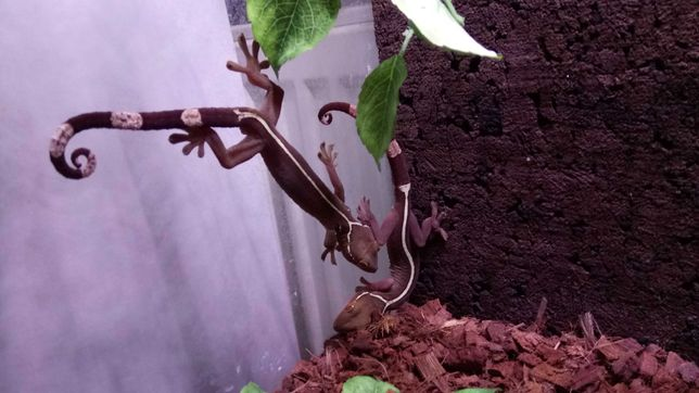 Gekon paskowany czekoladowy [Gekko vittatus] Parka