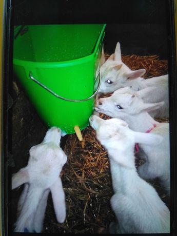 Продам молодняк коз зааненской породы