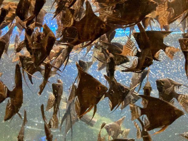 Скалярія, рибка аквіріумна