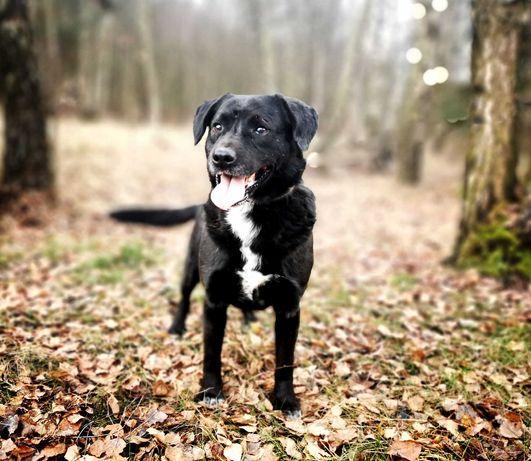 Labrador, łagodny, wesoły, aktywny, 4 lata. Lobo. Adopcja