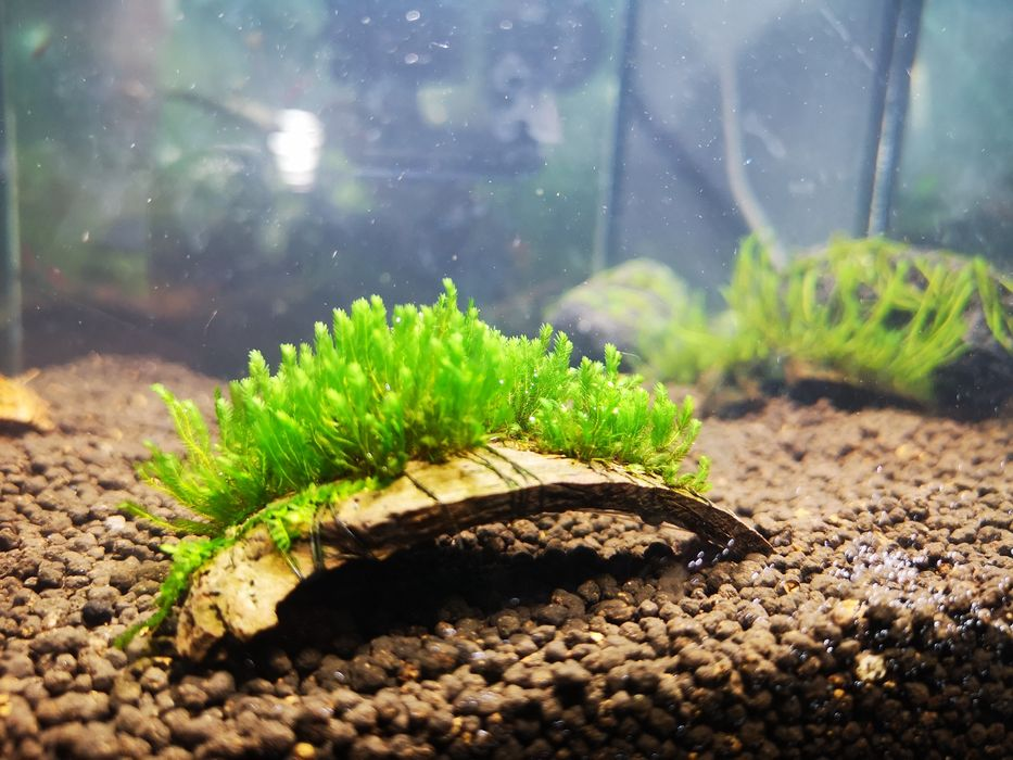 Fissidens sp. Borneo 20 gałązek Chełmża - image 1