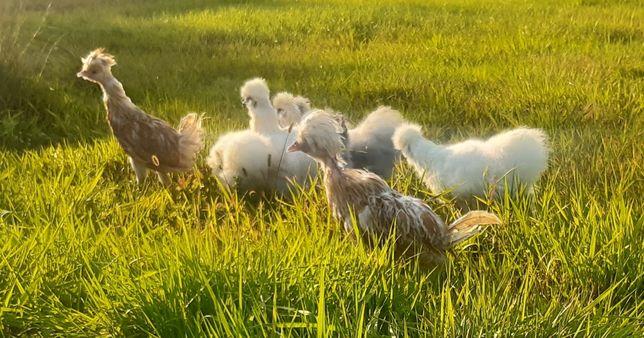 Kurczęta silki , kurczaki silka