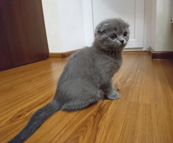 Шотландский вислоухий котёнок шотландская вислоухая вислоушка