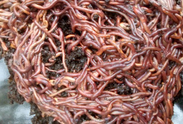 Kit de Vermicompostagem com mais de 1500 minhocas Californianas