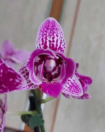 Продам   орхидею Формоза